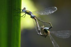 libellenpaarung